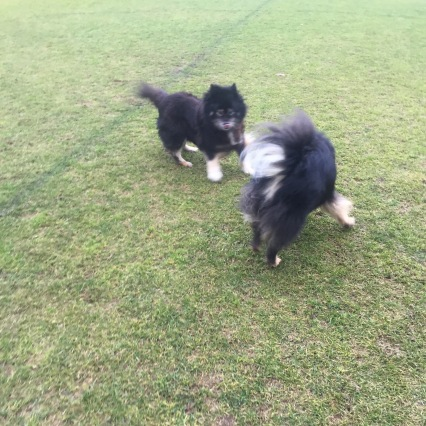 Lapphunds Playing