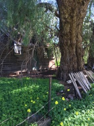 Nature repurposes this old abandoned home in Moliagul, where finding the Welcome Stranger heralded the gold rush.