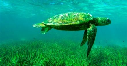 herpes-green-turtles