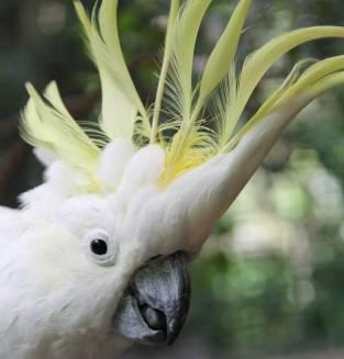 Hello Cocky