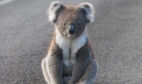 img-koala-sitting-on-road1000px